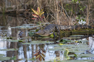 American alligator in natural habitat