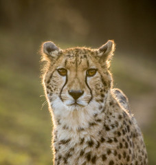 Portrait of wild cheetah patrolling