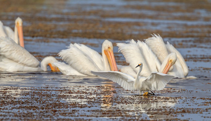 Snowy Egret and White Pelicans Florida