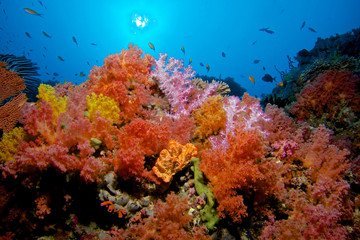 CORAL GARDEN / Soft corals are tone of the most colorful colonies on the sea, you can spot many varieties on Maldives