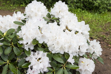 Flowers white rhododendron in the  Minsk a botanical garden