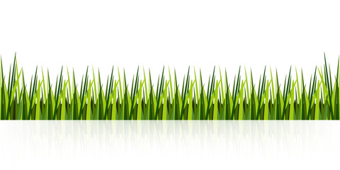 Gazon grass in line on a white background