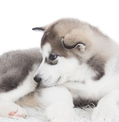 Animals. One puppy Husky white isolated!