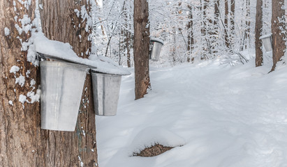 Maple syrup collection buckets along trails for a sugar shack in the Maple wooded winter forest.