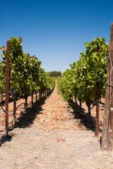 Row of grapes in  California vineyard USA