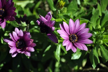 violet purple daisy
