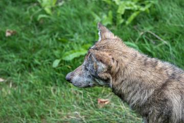 Wolf im Portrait