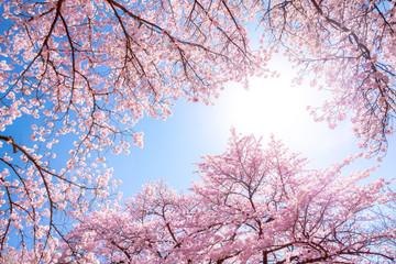Rosa Kirschbäume im Frühling als Hintergrund vor blauem Himmel