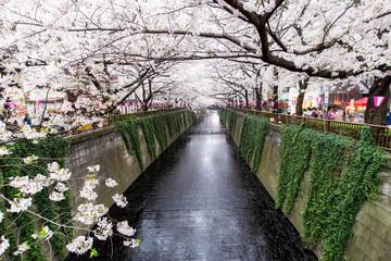 Wall Mural - Meguro Kanal in Tokyo während der Kirschblüte im Frühling