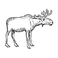 illustration vector doodle hand drawn of sketch moose isolated on white