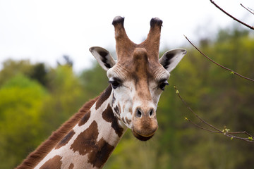 close up Giraffe portrait