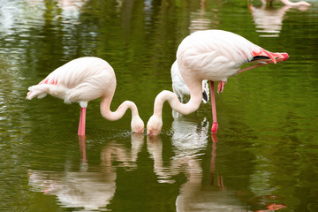 Beautiful American Flamingos