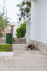 Sleeping malamute dog in Caracas, Peru