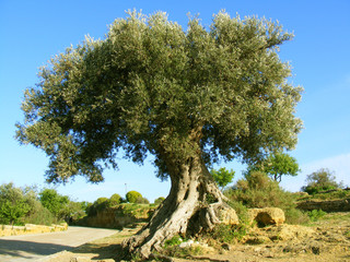 big olive tree in countryside