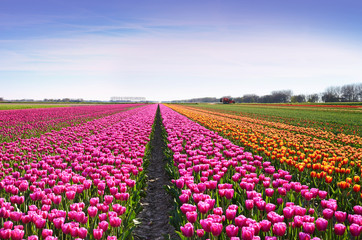 Fantastic landscape with rows of tulips in a field in Holland