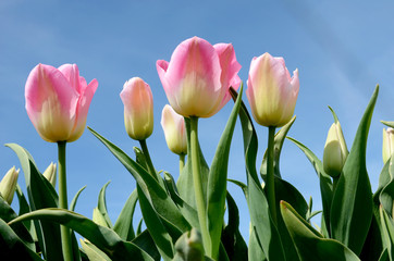 Beautiful landscape with pink tulips against the sky (natural ba