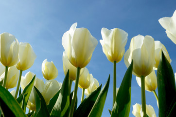 The beautiful landscape with white tulips against the sky in sun