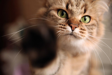 The cat pokes her hand into the camera lens