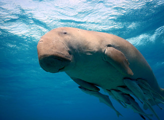 The dugong