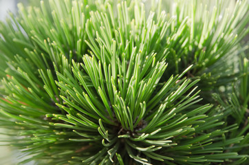 bright image of  pine needles in the sunlight at close range