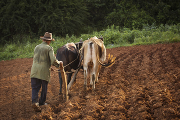 A peasant works the soil with a wooden plough pulled by two oxes Wall mural