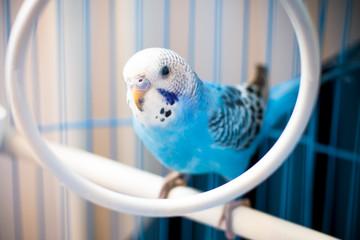 Blue budgie Fotomurales
