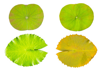 water lily green leaf