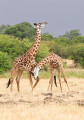 Two male of giraffe fighting, Masai Mara, Kenya, Africa
