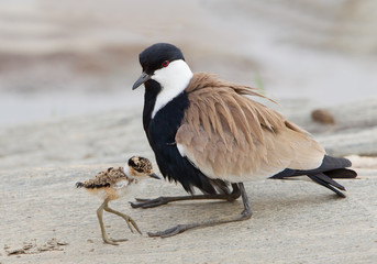 Blacksmith lapwing with chick on the rock, with clean background, Kenya, Africa