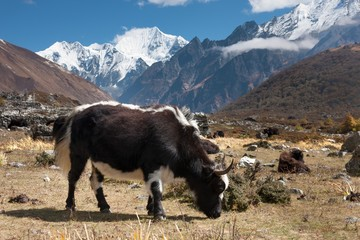 Wall Mural - Yaks in Langtang Valley, Langtang National Park, Rasuwa Dsitrict, Nepal