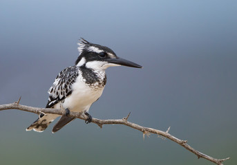 Pied kingfisher perched on the branch, clean background, Baringo, Kenya, Africa