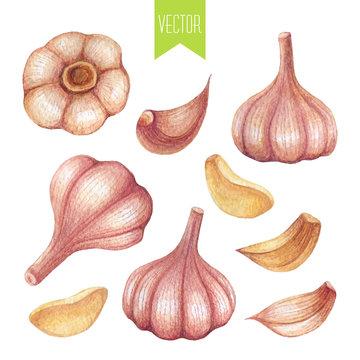 Watercolor set of garlic