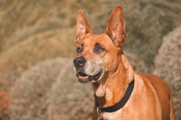 Dog big ears