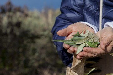 Hands showing olive leaves, for using in traditional herbal medicine, beautiful organic olive grove above the sea coast