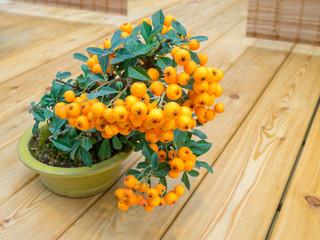 bonsai tree with orange berries in pot (Pyracantha)