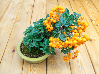 bonsai tree with orange berries in pot (Pyracantha)