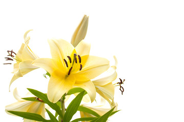 Pale yellow lily isolated on a white background