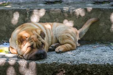 Shar Pei dog lying.
