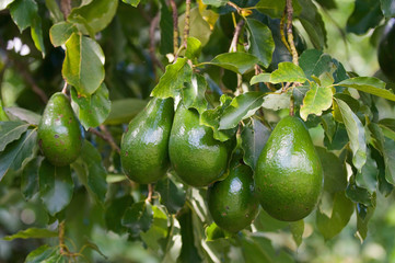 Bunch of ripe avocados on the tree