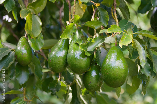 Fototapete Bunch of ripe avocados on the tree