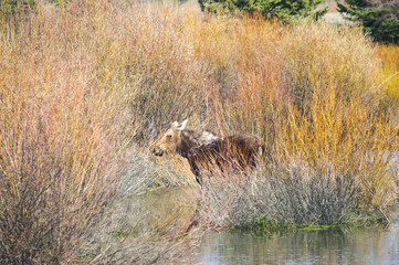 Moose in the willows
