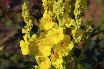 Koenigskerze - Verbascum, common name mullein
