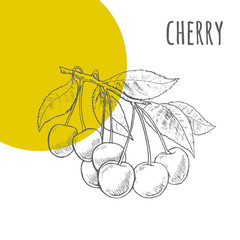 Cherry vector freehand pencil drawn sketch