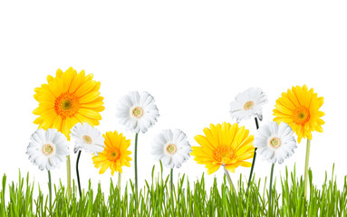 Gerber Daisy, isolated on white background