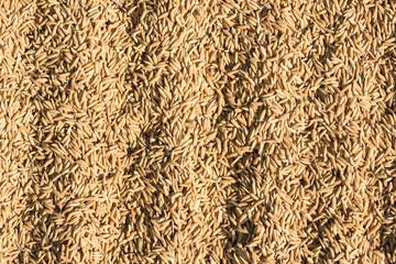 paddy rice ,brown rice