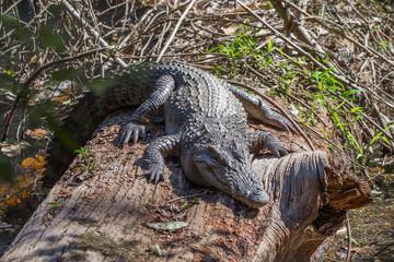Siamese crocodile ( Crocodylus siamensis) relaxing on the wood