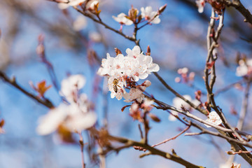 Wall Mural - Blooming tree branches with white flowers, blue sky. Springtime