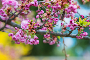 Wall Mural - Blooming tree branches with pink flowers and leaves. Spring.