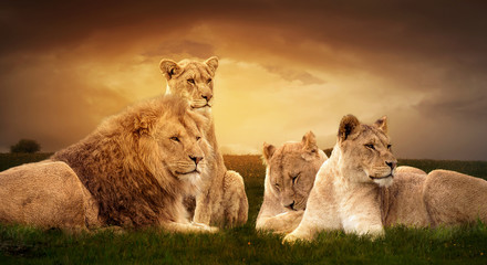 Foto auf Leinwand Löwe African lions resting in the green grass.