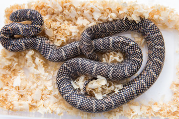 Lampropeltis getula meansi, commonly known as Apalachicola Kings